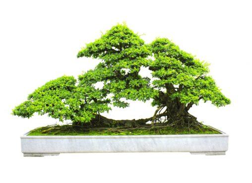 bonsai da interno bonsaito